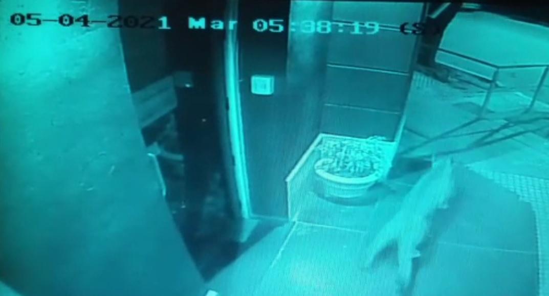 Un puma suelto en Río Primero rompió la puerta del municipio